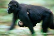 The Celebes Crested Macaque mother is carrying her young for two month. | Zwei Monate lang werden die jungen Schopfmakaken von ihren Müttern getragen.