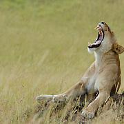 African Lion (Panthera leo) in the grass in Masai Mara National Reserve, Kenya, Africa.