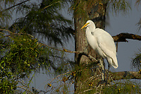 Great Egret Ardea alba Arthur R Marshall National Wildlife Reserve Loxahatchee Florida USA