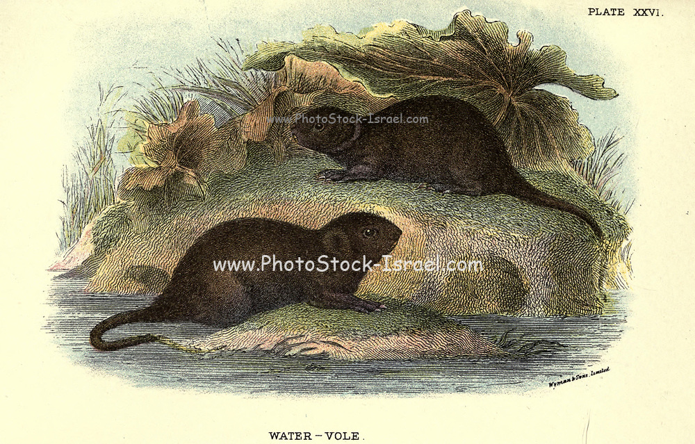 The European water vole or northern water vole (Arvicola amphibius Here As Microtus amphibius), is a semi-aquatic rodent. It is often informally called the water rat, though it only superficially resembles a true rat.[3] Water voles have rounder noses than rats, deep brown fur, chubby faces and short fuzzy ears; unlike rats their tails, paws and ears are covered with hair. From the book ' A hand-book to the British mammalia ' by  Richard Lydekker, 1849-1915  Published in London, by Edward Lloyd in 1896