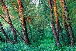 Trees and lush undergrowth, Lemon Lake, Great Trinity Forest near Trinity River, Dallas, Texas, USA.