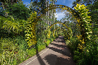 Golden Shower Arches at National Orchid Garden - Singapore has been a center for orchid breeding since the 1930s.  Some of the garden's hybrids have become important in the orchid world and internationally awarded, become important in the flower trade or have been named after historical figures. Some are useful as breeding stock for types of orchids.