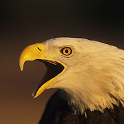 Bald Eagle (Haliaeetus leucocephalus) portrait of an adult vocalizing. Captive Animal