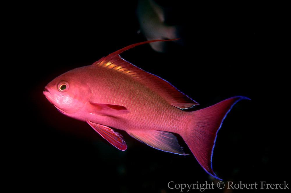 UNDERWATER MARINE LIFE WEST PACIFIC, generic FISH: goldfish, male Anthias squamipinnis