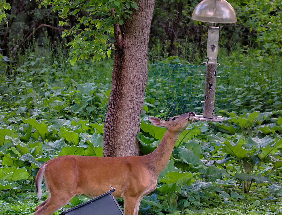I guess the white-tailed doe has decided bird seed will be dessert.