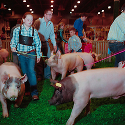 Houston, Texas - March 2010- Competitors show their pigs in the livestock ring for the judges who will pick the best barrows (castrated pigs).   Photo by Susana Raab