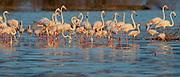 Flock of Great Flamingos in early morning light at Lake Bogoria, Kenya in July 2014.