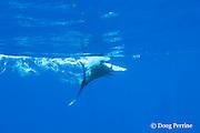 free swimming blue marlin, Makaira nigricans, bill swipes teaser lure, Vava'u, Kingdom of Tonga, South Pacific