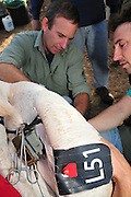 GPS tracking device is being attached to a Great White Pelican (Pelecanus onocrotalus). Attaching GPS trackers to this bird before release back to nature will allow researchers to better understand the migration patterns and behaviour. Photographed at the Carmel Hai-Bar Animal Sanctuary in Israel