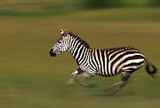 Running zebra, Serengeti National Park, Tanzania.