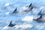 Common Dolphin - Delphinus delphis