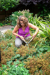 Cutting back Alchemilla mollis - Lady's-mantle - with hand shears after it has finished flowering to stop it self seeding and to encourage a second flush of young foliage
