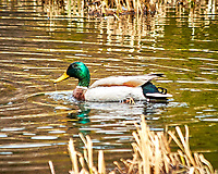 Mallard Duck. Rocky Mountain National Park. Image taken with a Nikon D300  camera and 80-400 mm VR lens