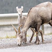 Mountain sheep ewe and lamb eating alongside the Alaska Highway. British Columbia, Canada