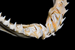 lower jaw of shortfin mako shark, Isurus oxyrinchus, showing rows of teeth - daggerlike teeth grasp and hold fast-swimming prey such as fish and squids prior to swallowing, differences in shark tooth size and shape reflect what and how they prey on, Hawaii
