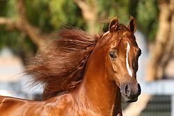 Arab Stallion - Signifikaynce<br /> Day Dream Arabians<br /> © Hippo Foto - Bob Langrish