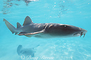 nurse shark, Ginglymostoma cirratum, and stingray, Belize, Central America ( Caribbean Sea )