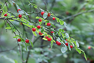 Clusters of berries on a Red Huckleberry (Vaccinium parvifolium) plant in the Langley Municipal Nature Reserve in Langley, British Columbia, Canada