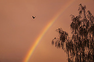 Image at sunset with a rainbow and a tree full of crows.