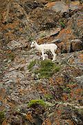 Dall sheep ewe on cliff