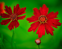 Red Plains Coreopsis flower. Image taken with a Fuji X-T3 camera and 80 mm f/2.8 OIS macro lens