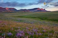Lupine wildflowers and Sawtooth Ridge along the Rocky Mountain Front near Augusta, Montana, USA