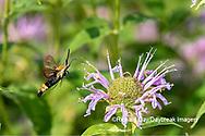 04005-00415 Snowberry Clearwing (Hemaris diffinis) on Wild Bergamot (Monarda fistulosa) Marion Co. IL