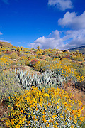 Morning light on Brittlebush, Agave, and Cholla in Plum Canyon, Anza-Borrego Desert State Park, California
