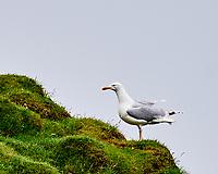 Herring Gull (Larus argentatus). Stórhöfði, Heimaey, Vestmannaeyjar Islands. Image taken with a Nikon D4 camera and 80-400 mm VR lens
