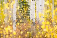 Intimate abstract aspen scene during autumn, Colorado, USA