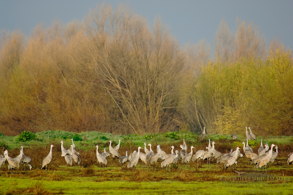 Sandhill cranes in green field during winter migration, Merced National Wildlife Refuge, Central Valley, California