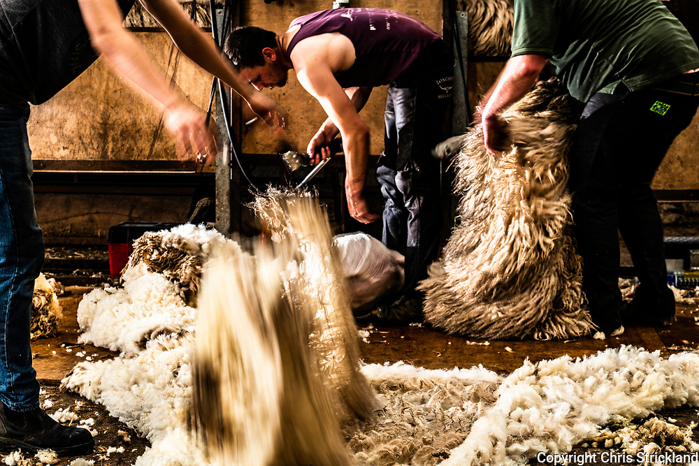 Swinside Townfoot, Oxnam, Jedburgh, Scottish Borders, UK. 31st May / 1st June 2018. North Country Cheviot hoggs have their fleeces clipped by shearers from Northumberland on a farm in the Scottish Borders.