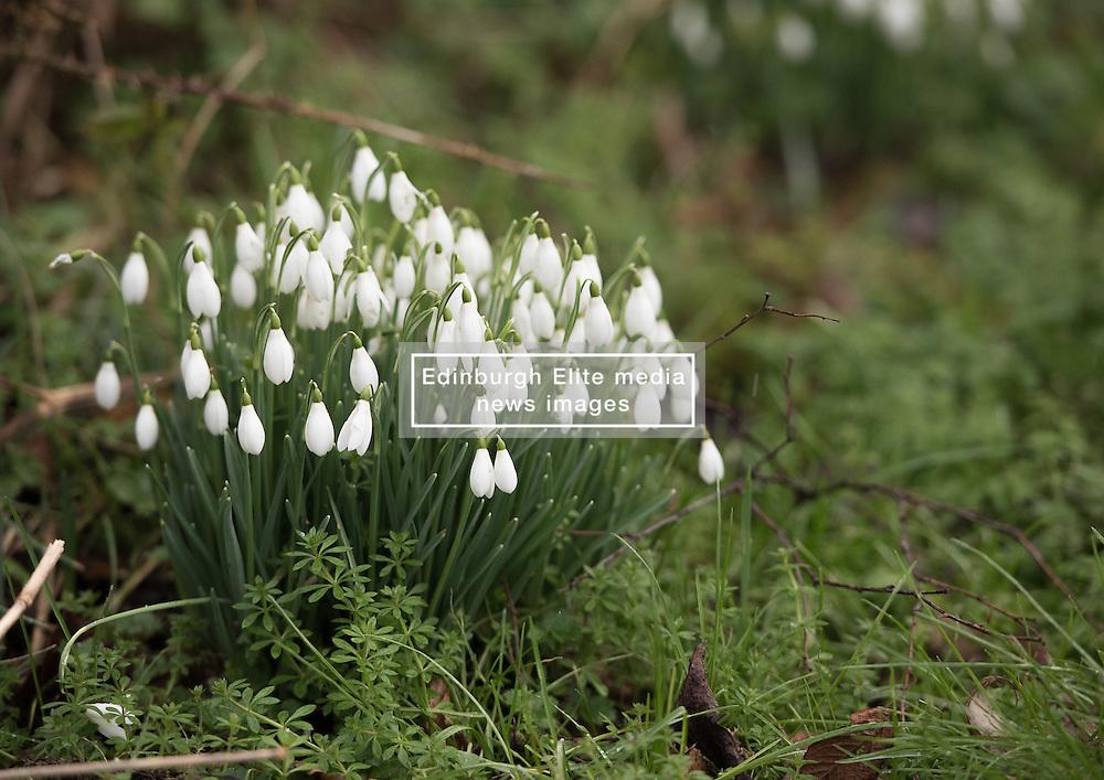 Despite the snow showers spring flowers in Figgate Park, Portobello, Edinburgh<br /> <br /> © Jon Davey/ EEm