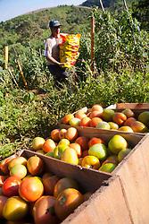 Plantacao de tomates e colheita em Goncalves, Minas Gerais / Tomato harvest in Brazil