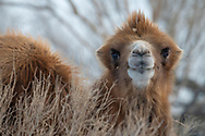 Bactrian camel, male, Camelus bactrianus, a feral animal living in the wild, but owned by a camel herdsman, often of Kazakh ethinicity. Kalamaili Nature *Reserve, Xinjiang, China