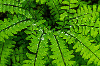 Raindrops dot the fern leaves as they radiate outwards in the soft morning light after a rainstorm along Eagle Creek in the Columbia River Gorge.