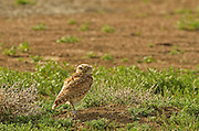 Burrowing owl in a black-tailed prairie dog town on the Great Plains of Montana at American Prairie Reserve. South of Malta in Phiillips County, Montana.