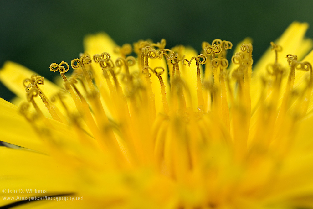 Curled Stamens & Pollen, Yellow Daisy - Tasmania