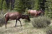 Elk grazing at the side of the road near Jasper, Alberta, Canadian Rockies