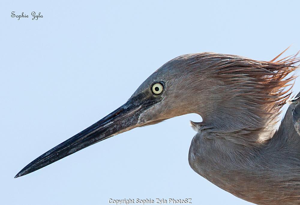 Reddish Egret profile
