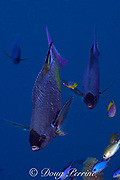 creole wrasses, Clepticus parrae,<br /> at cleaning station having parasites picked off<br /> by juvenile Spanish hogfish, Bodianus rufus<br /> Lighthouse Reef Atoll, Belize, Central America<br /> ( Caribbean Sea )