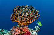 Bennett's Feather Star (Oxycomanthus bennetti)<br />