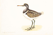 The greater painted-snipe (Rostratula benghalensis) is a species of wader in the family Rostratulidae. It is found in marshes in Africa, India and Pakistan. 18th century watercolor painting by Elizabeth Gwillim. Lady Elizabeth Symonds Gwillim (21 April 1763 – 21 December 1807) was an artist married to Sir Henry Gwillim, Puisne Judge at the Madras high court until 1808. Lady Gwillim painted a series of about 200 watercolours of Indian birds. Produced about 20 years before John James Audubon, her work has been acclaimed for its accuracy and natural postures as they were drawn from observations of the birds in life. She also painted fishes and flowers. McGill University Library and Archives