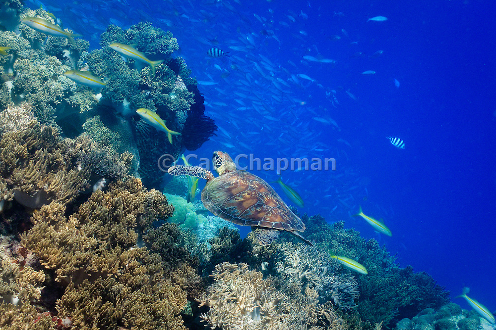 Green Turtle (Chelonia mydas) swimming over coral - Agincourt reef, Great Barrier Reef, Queensland, Australia. <br /> <br /> Editions:- Open Edition Print / Stock Image