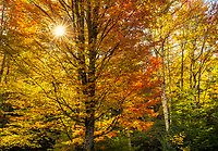 Backlight and peak autumn color in the forest of Vermont, USA