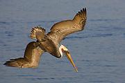 Brown Pelican in full breeding colors dives for fish (Pelecanus occidentalis) Bolsa Chica State Park, California
