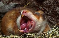 Deutschland, DEU, Cuxhaven: Gähnender weiblicher Goldhamster (Mesocricetus auratus) liegt im Schlaflager aus Heu.   Germany, DEU, Cuxhaven: Golden Hamster (Mesocricetus auratus) female, yawning , laying in its subterranean sleeping nest made out of hay.  