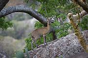 Klipspringer (Oreotragus oreotragus) traversing granite boulders in Matobo Naitonal Park, Zimbabwe. © Michael Durham / www.DurmPhoto.com