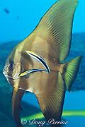 cleaner wrasses, Labroides dimidiatus,<br /> pick parasites off of subadult <br /> longfin spadefish or batfish, Platax teira, <br /> Mabul Island, off Borneo, Sabah, <br /> Malaysia ( Celebes Sea )