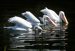 © Licensed to London News Pictures. 22/06/2018.  A trio of pelicans swim in the lake St James's Park in warm sunshine ahead of the weekend. Most of the UK is expected to be enjoying high temperatures over the next 7-10 days.  London, UK. Photo credit: Peter Macdiarmid/LNP